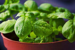 basil, herbs, food